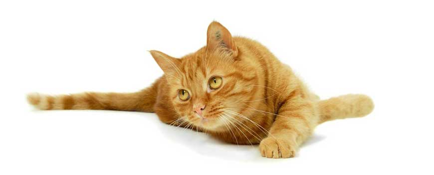 Ginger cat lying down