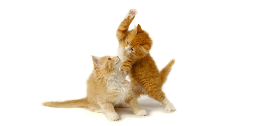 Ginger cats fighting