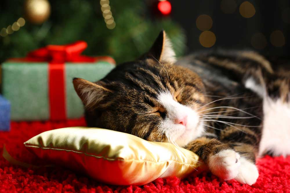 Cat sleeping on pillow at Christmas
