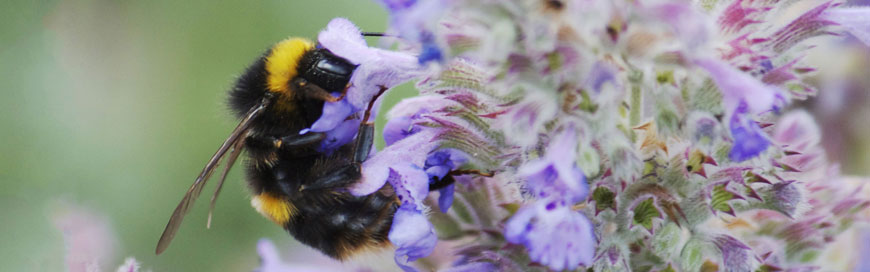 Bumble Bee on Catnip Plant