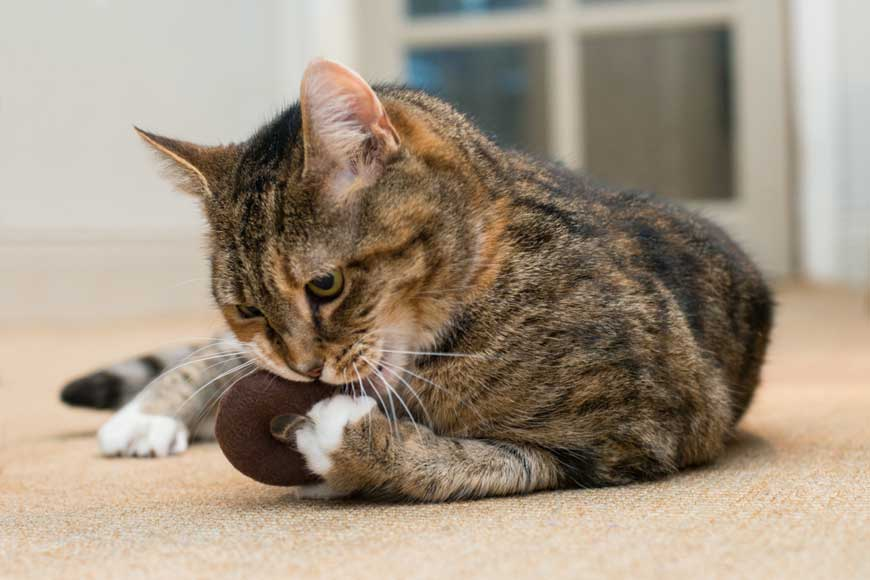 Simply Catnip Chocolate Doughnut Keep your Cat Happy and Healthy