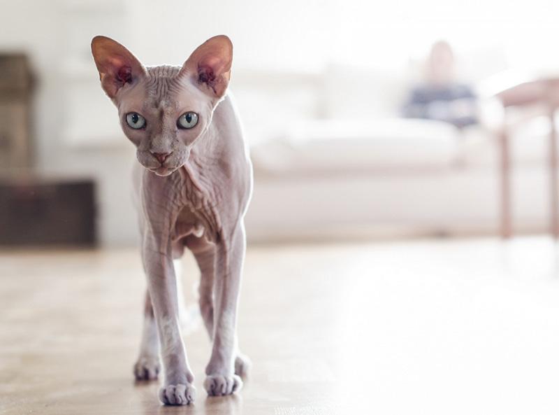 Sphynx Cat Simply Catnip
